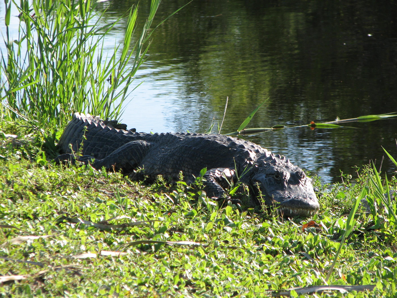 Aligators Evergleidas Nacionālajā parkā, Floridas štats