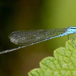Austrālijas kukaiņi
