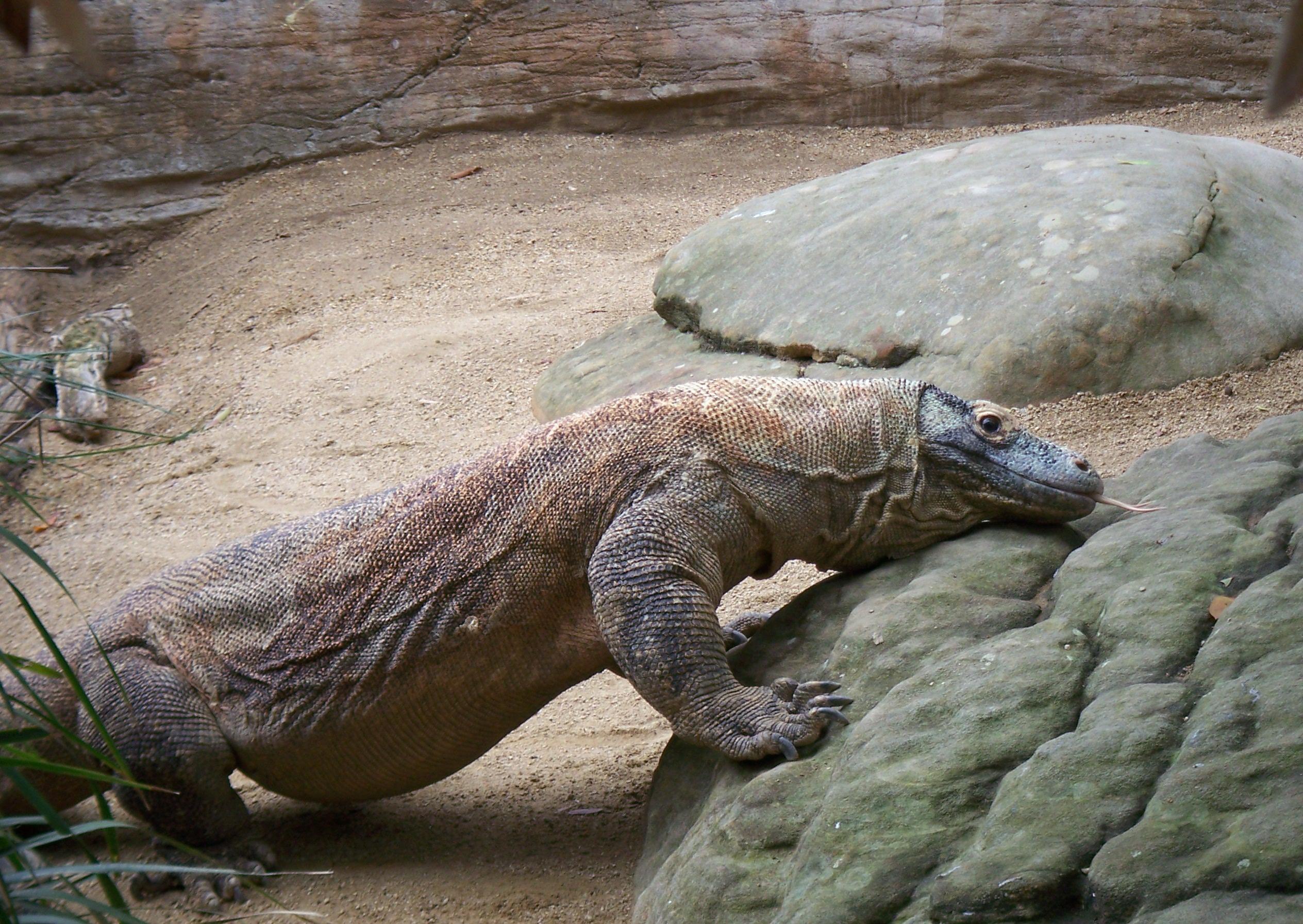 Komodo drakons